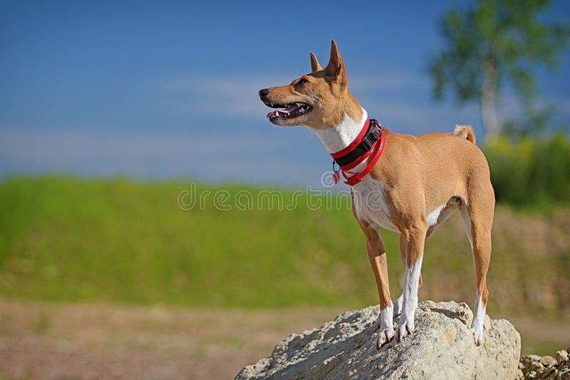 Basenjis Dog Royalty Free Stock Images