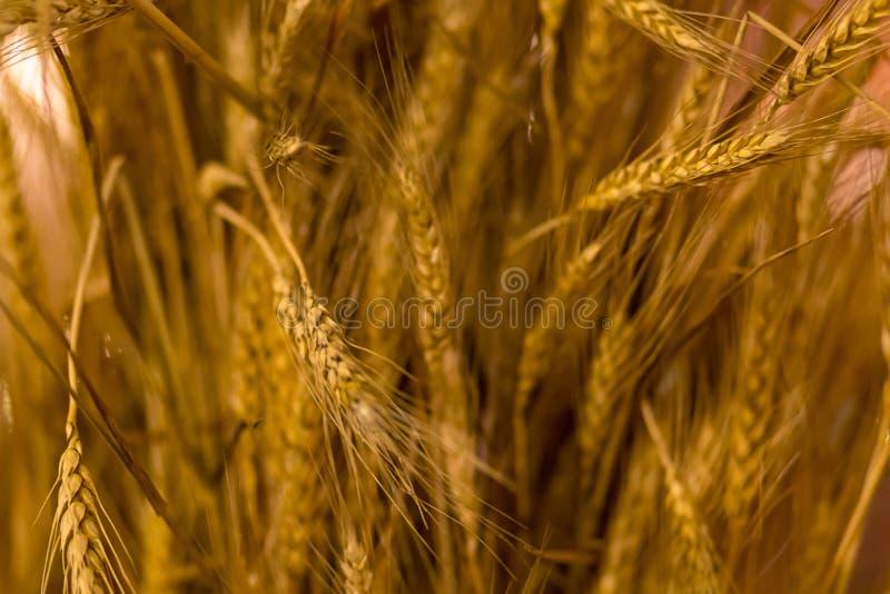 Basera grunden för korn för den långa guld- för örabakgrund vegetativa lantliga för designen sädes- närbilden för växter den mogn royaltyfri bild