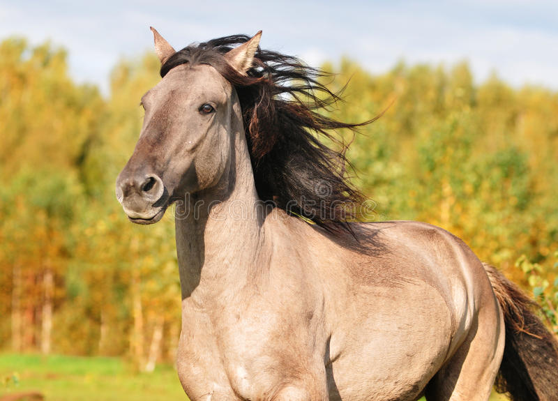 Bashkir horse portrait. With autumn background royalty free stock images