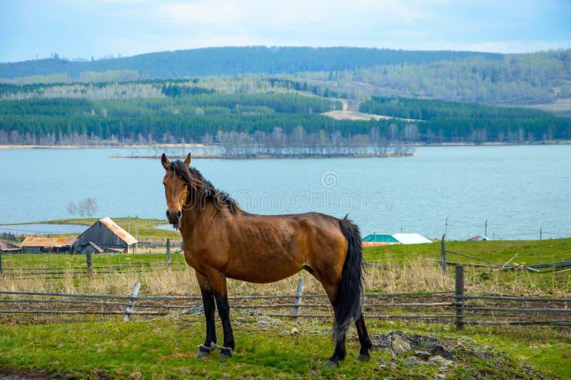 Bashkir mancou cavalos na grama verde foto de stock