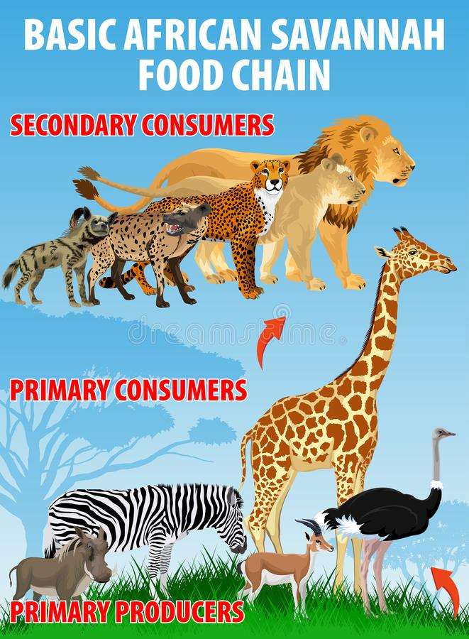 Basic african savannah food trophic chain. Grassland ecosystem energy flow. Vector. Illustration vector illustration