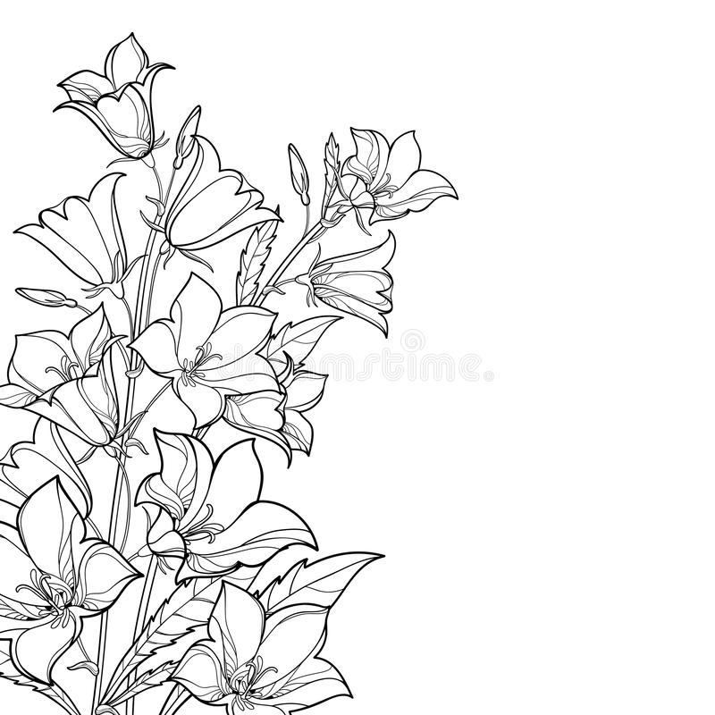 Vector corner bouquet with outline Campanula or Bellflower or Bluebell flower, leaf and bud in black isolated on white background. Ornate plant in contour royalty free illustration