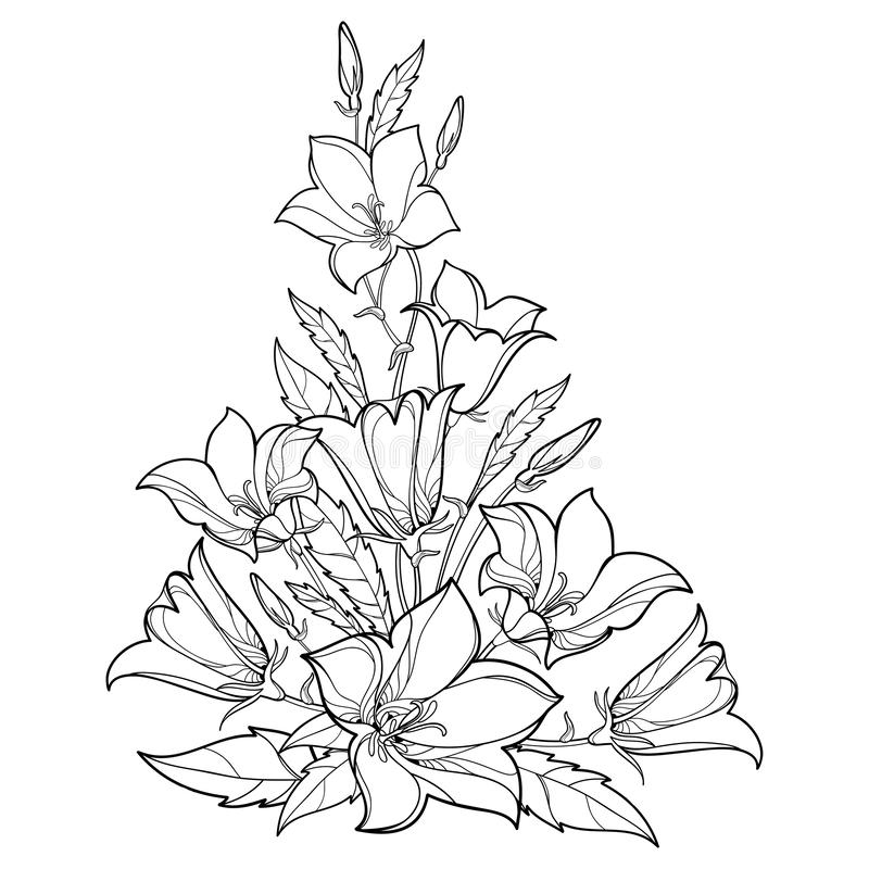 Vector bouquet with outline Campanula or Bellflower or Bluebell flower, leaf and bud in black isolated on white background. Ornate Bluebell bunch in contour royalty free illustration