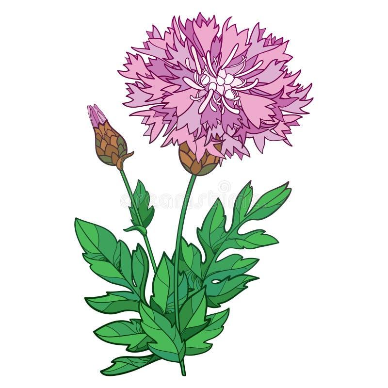 Vector stem of outline Centaurea dealbata or Persian cornflower or whitewash pink flower, bud and green leaf isolated on white. Vector stem of outline Centaurea royalty free illustration