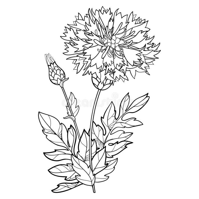 Vector stem of outline Centaurea dealbata or Persian cornflower or whitewash flower, bud and leaf in black isolated on white. Vector stem of outline Centaurea royalty free illustration