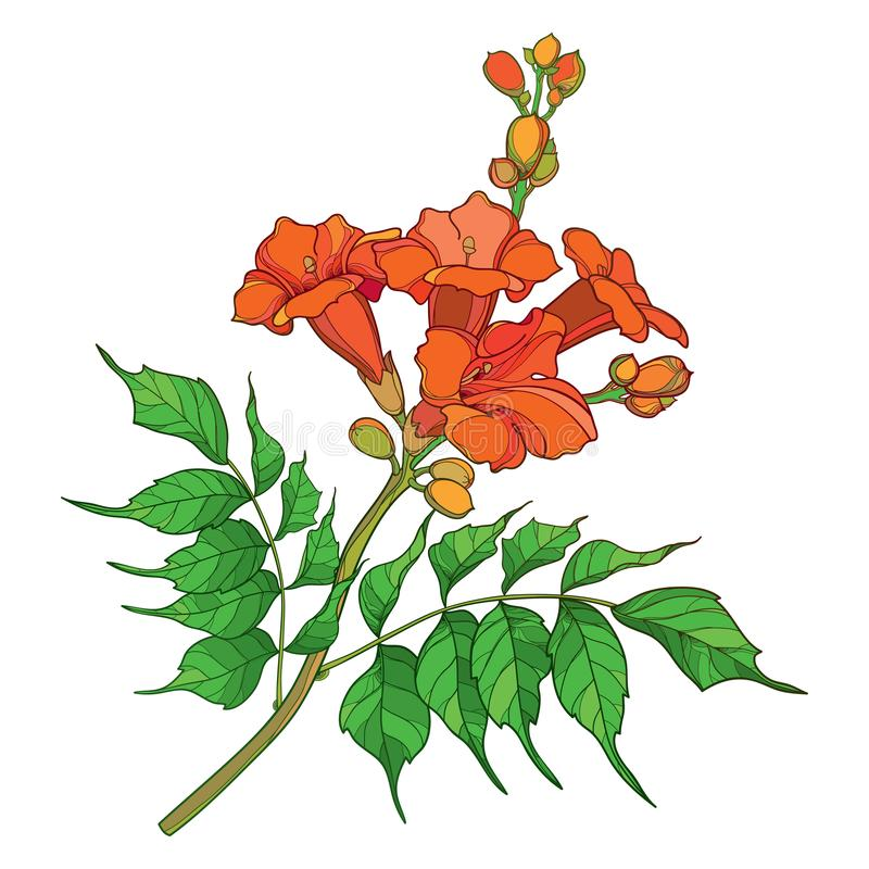 Vector branch with outline orange Campsis radicans or trumpet vine flower bunch, bud and ornate green leaves isolated on white. stock illustration