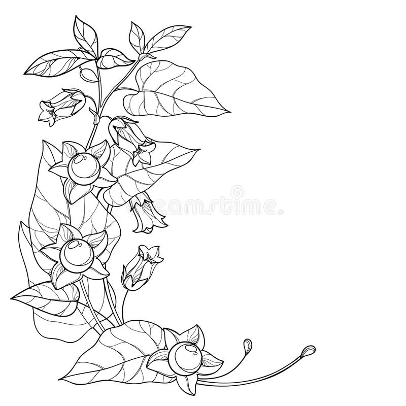 Vector corner bunch with outline toxic Atropa belladonna or deadly nightshade flower, bud, berry and leaf in black isolated. Vector corner bunch with outline royalty free illustration