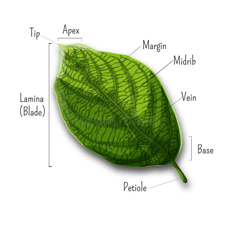 Basic leaf parts, external structure infographics isolated on white background. royalty free illustration