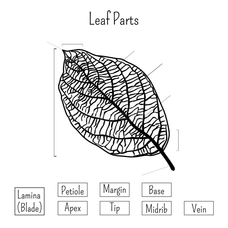 Basic Leaf Parts Worksheet Isolated On White Background ...