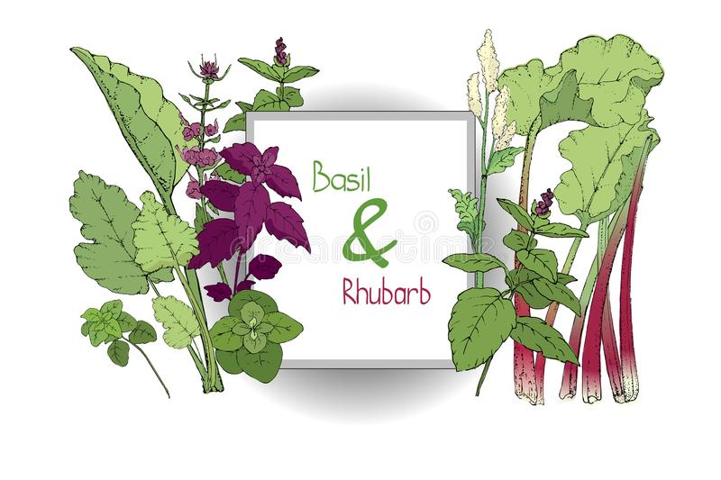 Vector set of basil plant and rhubarb. Green and purple cinnamon and Italian basil with leaves and flowers. Fresh pieplant with green leaves, green and red royalty free illustration
