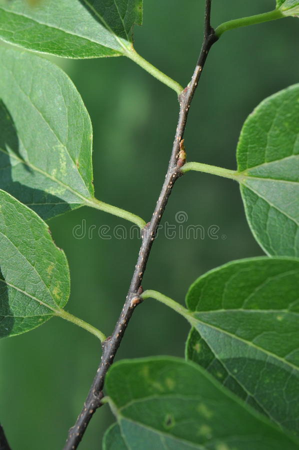Basic Tree Identification: Alternate Leaf Arrangement. Vertical image showing how alternate leaves are arranged on a tree's stem. Each leaf is located singularly stock photography