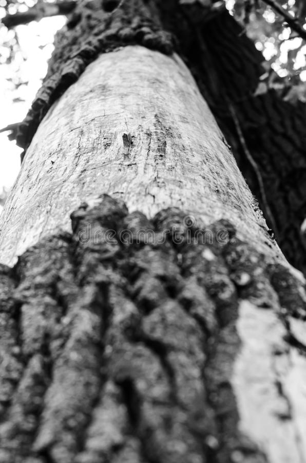The trunk of a large poplar is partially without bark. Monochrome. Vertical arrangement. royalty free stock photo