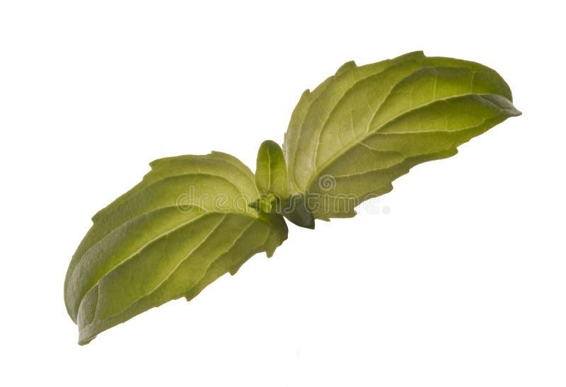 Basilów liście odizolowywający na bielu obrazy stock