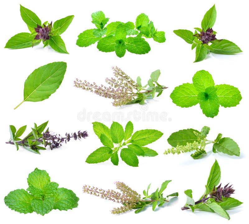 Basil, święty basil i nowi liście, obraz stock