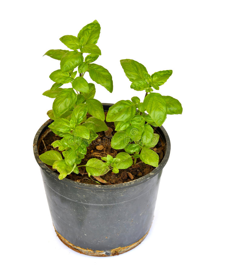 Basil 011. Basil plant in a pot; fresh and healthy ... reflecting its nature as a healthy ingredient for various foods stock photo