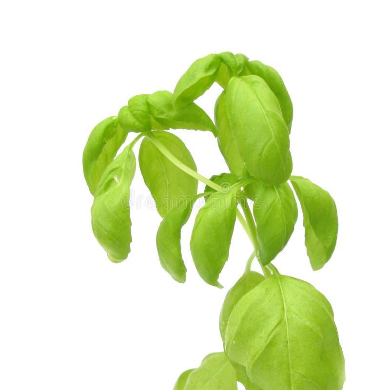 Download Basil stock image. Image of plant, basil, ocimum, leaf - 10639311