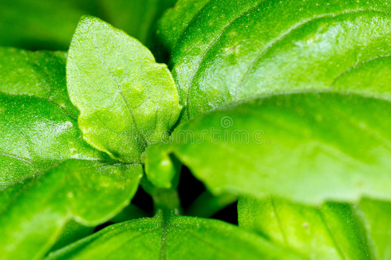 Download Basil stock image. Image of culinary, foliage, flavor - 18362483