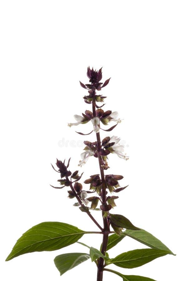 Basil. Flower sprig isolated on white background stock photography