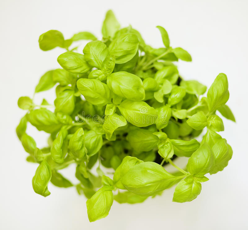 Download Basil stock image. Image of leaves, basil, cooking, plant - 25788249