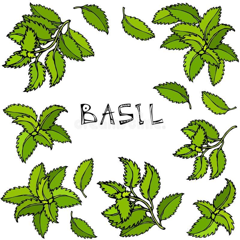 Basil Background e quadro verdes frescos Erva de cozimento aromática Especiaria da carne do bife Ilustração desenhada mão Estilo  ilustração royalty free