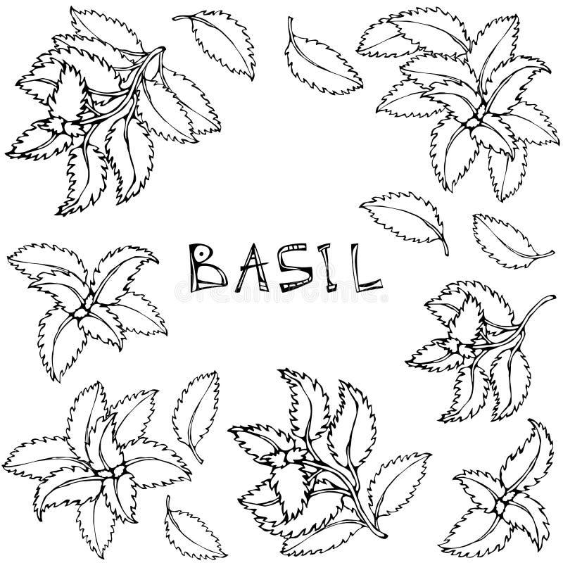 Basil Background e quadro verdes frescos Erva de cozimento aromática Especiaria da carne do bife Ilustração desenhada mão Doodle  ilustração royalty free