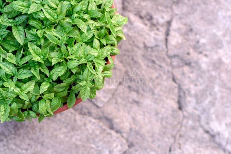 Basil Bush verde em um potenciômetro e em um Grey Stone Background foto de stock