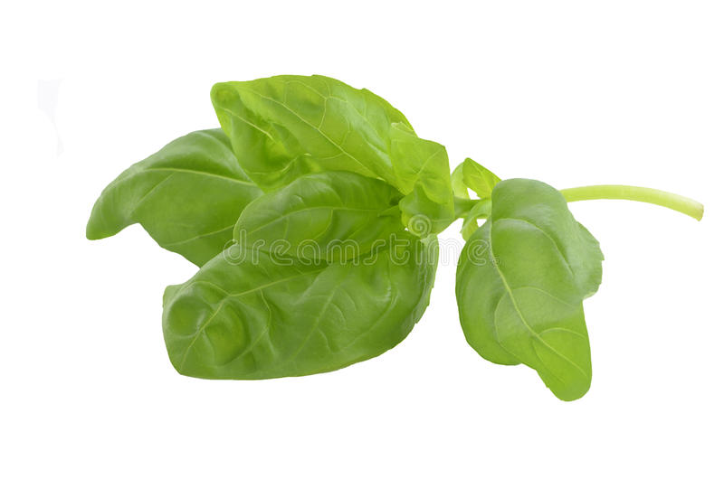 Download Basil closeup stock image. Image of isolated, picked - 24643217