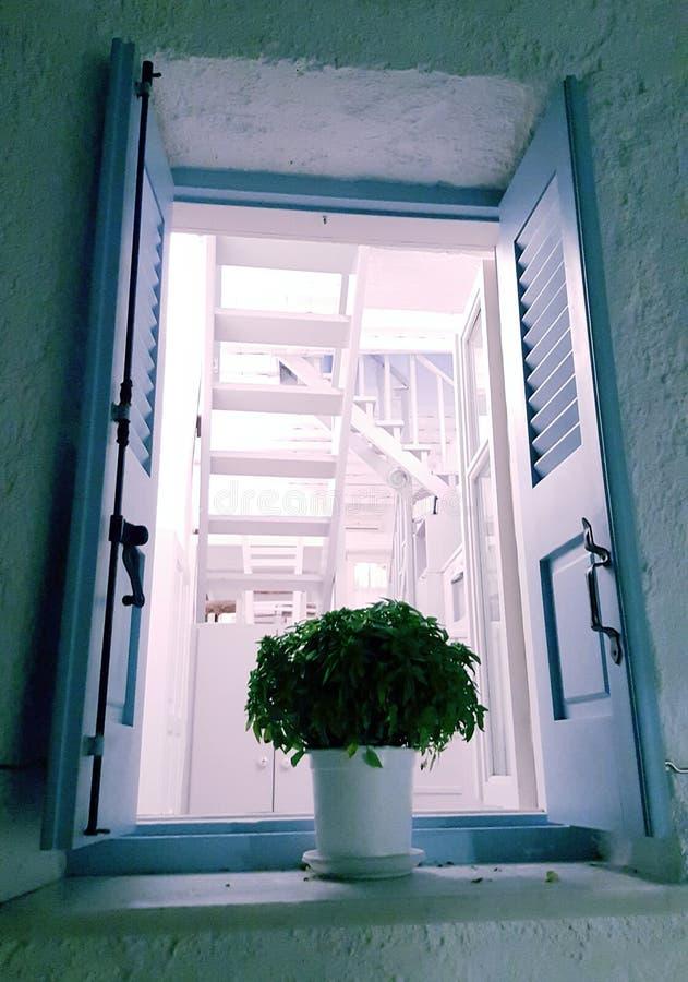 Basil dans le pot de fenêtre images libres de droits