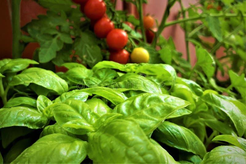 Basil et tomates-cerises mûres rouges avec des branches sur l'arbre photographie stock libre de droits