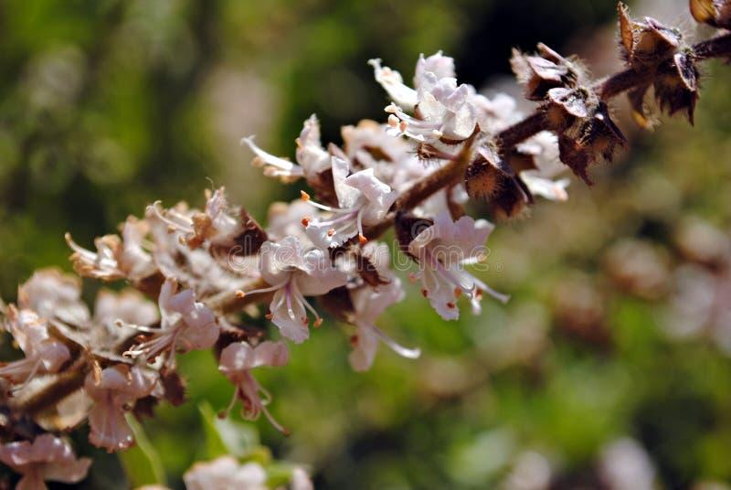Basil Flower photos stock