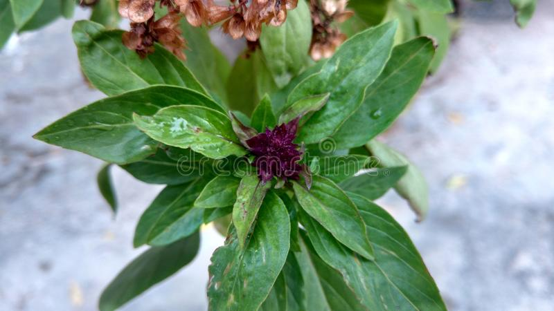 Basil flower royalty free stock photo