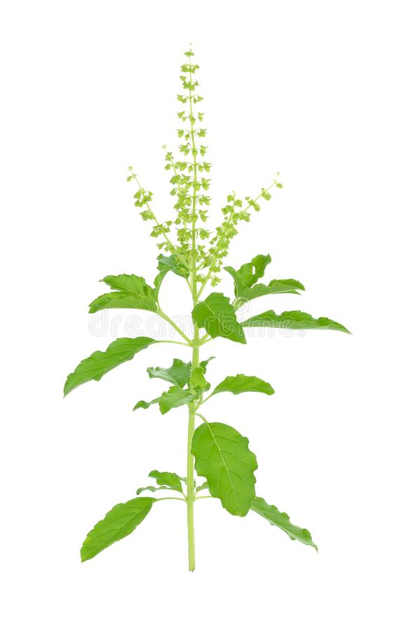 The Basil flower on white background stock photos