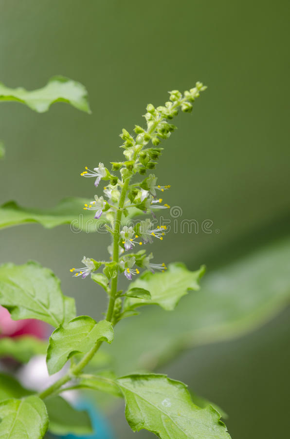 Basil flowers stock images
