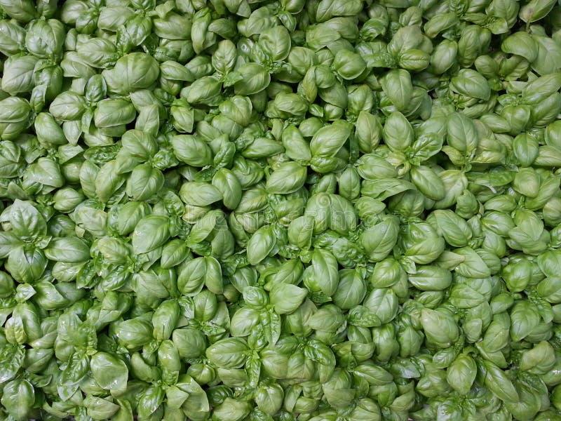 Basil garden growing stock photo