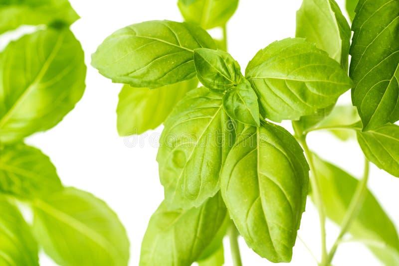 Basil Herb Leaves Closeup frais photos stock