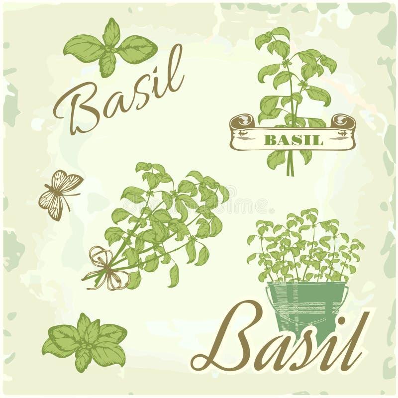 Basil, herb,. Plant, nature vintage background, packaging calligraphy vector illustration