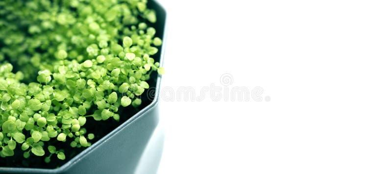Basil Herb verde fresco no potenciômetro no fundo claro imagem de stock