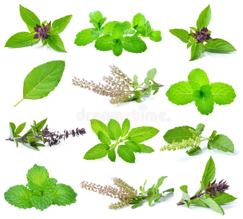Basil, holy basil and mint leaves stock image