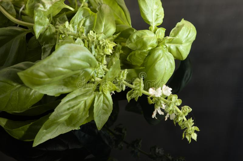 Basil with inflorescence on a black background stock image