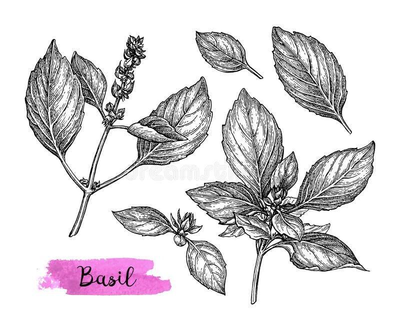 Basil ink sketch. Basil set. Ink sketch isolated on white background. Hand drawn vector illustration. Retro style stock illustration