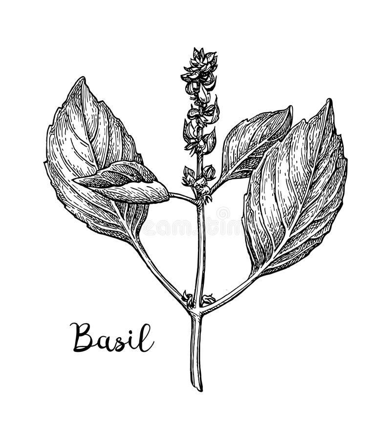 Basil ink sketch. Isolated on white background. Hand drawn vector illustration. Retro style vector illustration