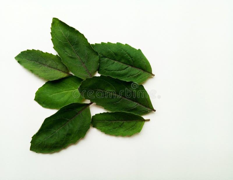 Basil Leaf photo libre de droits