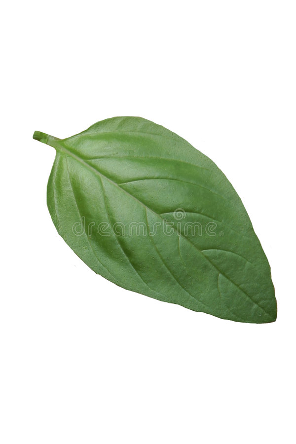 Basil leaf royalty free stock images