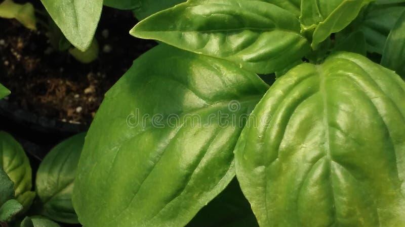 Basil Leaf foto de archivo