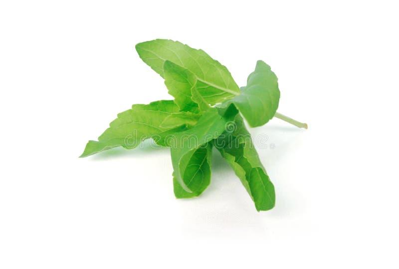 Basil Leaf stock afbeeldingen