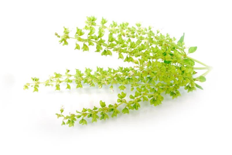 Basil Leaf stock foto
