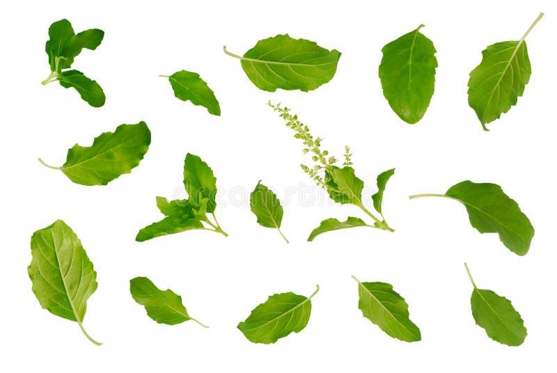 Basil Leaf stock fotografie