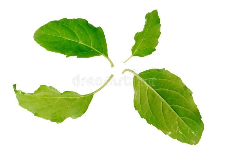 Basil Leaf royalty-vrije stock afbeeldingen