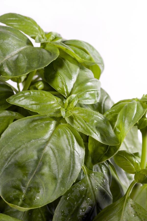 Basil leaves. Close up of fresh basil leaves on white background stock photo