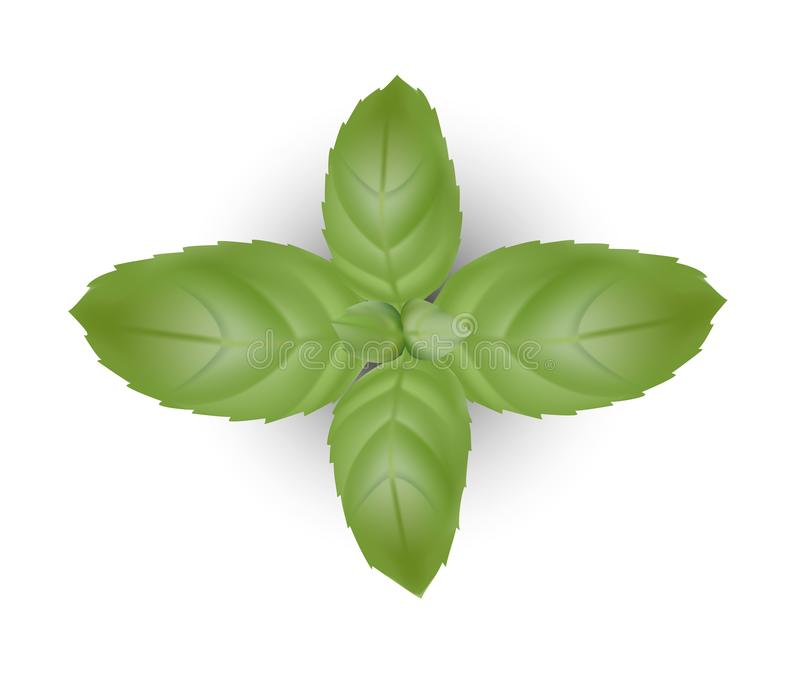 Basil Leaves Stock Illustrations – 1,924 Basil Leaves Stock